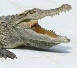 Alligatorgap. Foto: Colourbox